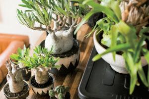 塊根植物、アガベ、ユーフォルビアなど男らしい植物が大人気!人気品種や鉢、植え替え方法、ショップを紹介。